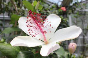 ハワイの植物展 -Mohala o ʻĀhinahina-