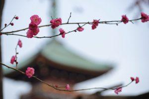 第三十九回 上野東照宮 冬ぼたん