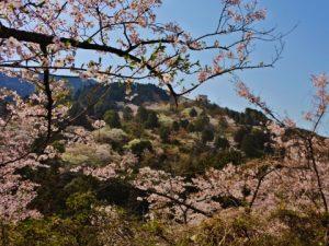 福岡市油山市民の森の桜