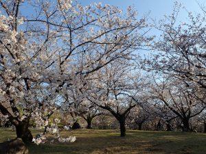 浜寺公園の桜