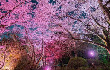 夜桜ライトアップ「長野公園さくらと光の回廊」