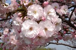 春の物語|約1000本の桜のリレー