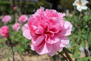 春を謡う 徳川園牡丹祭