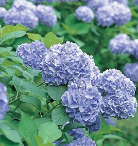 勝尾寺の紫陽花