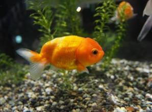 夏の特別展 夢幻黄金魚展