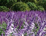 パープルガーデン&ローズガーデン   8つの花の季節   あしかがフラワーパーク